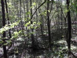 若いブナ林を涼風が通り抜ける〜